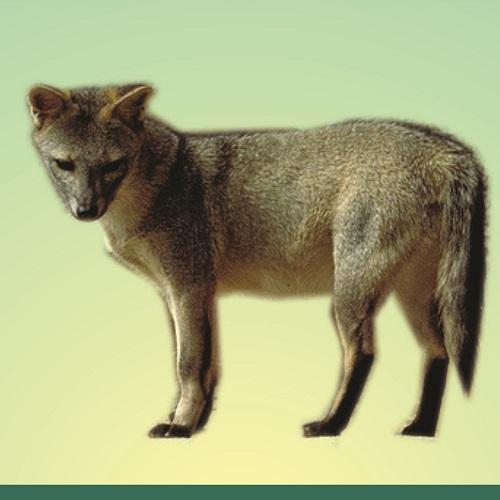 Cachorro-do-mato ou Raposa