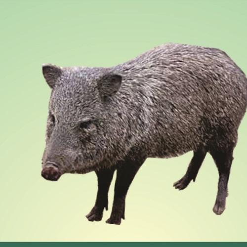 Caititu ou Cateto ou Porco-do-mato