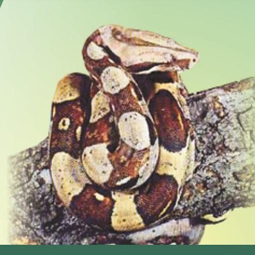 Jibóia ou Cobra-de-Veado