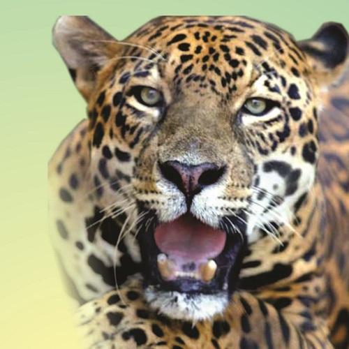 Onça-Pintada ou Jaguar