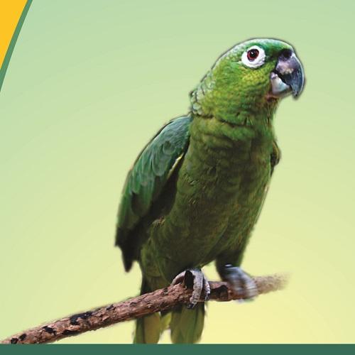 Papagaio Moleiro