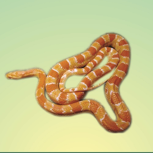 Snake ou Cobra do Milho